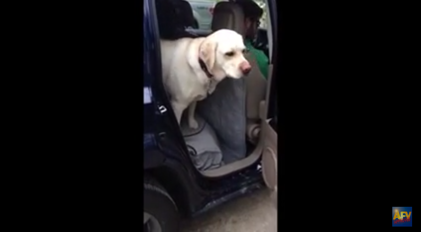 This Dog Goes Out Of His Way To Help A Friend Out Of The Car