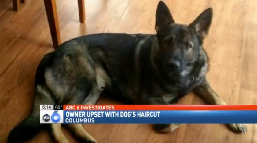 Dog Owner Livid After Groomers Shave Her German Shepherd