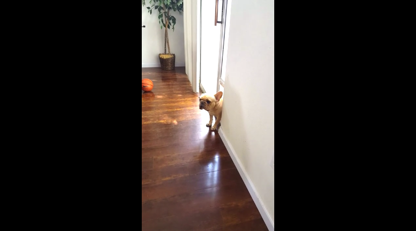 Watch How This French Bulldog Reacts When He's Asked Who Chewed Up Mommy's Pen!