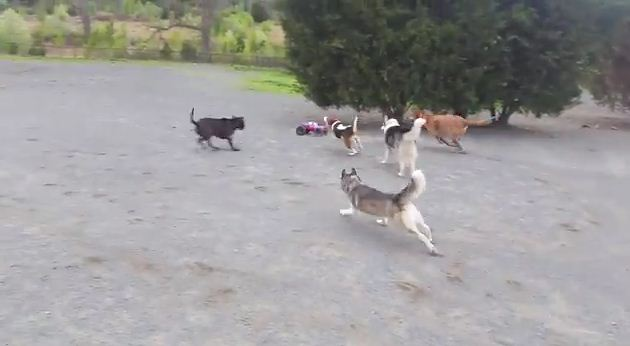 They Brought A New Toy To The Dog Park And The Dog's Reaction Is HILARIOUS!
