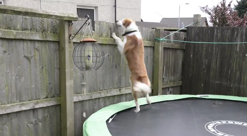 Dog Uses Trampoline To Escape And Follow Owner To Work
