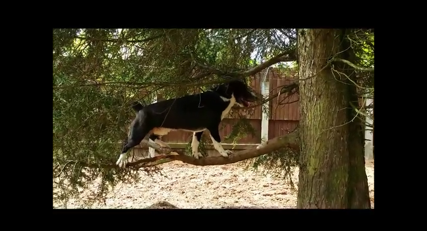 Dog Takes Page Out of Cat Playbook and Climbs Trees
