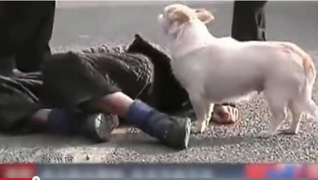A Tiny Pup Proves His Heart Is Big When His Owner Passes Out In A Busy Street