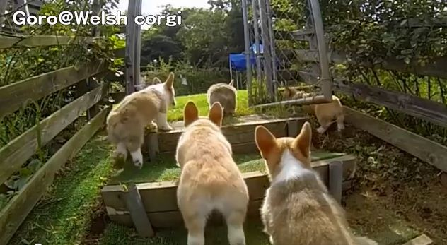 Corgi Puppies And Music From Rocky. Need I Say More?