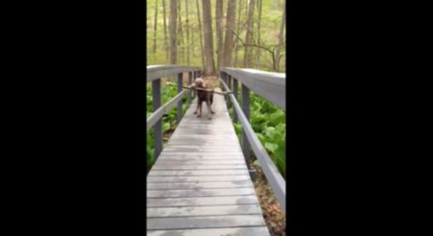 Most Determined Dog Ever Struggles To Carry Giant Stick Across Small Bridge