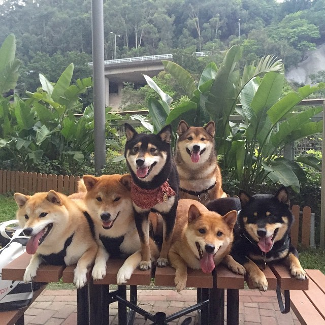 This Shiba Inu Dog Family Is Basically The Cutest Group Of Pooches Ever