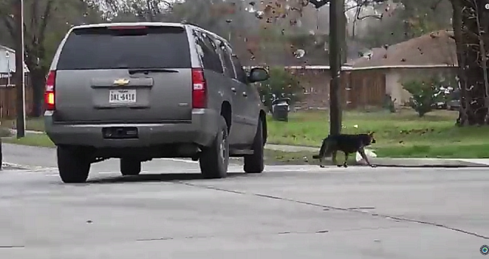 Heartwarming Rescue Of A German Shepherd From A Busy Houston Street