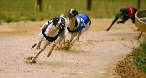 15 Fastest Dog Breeds