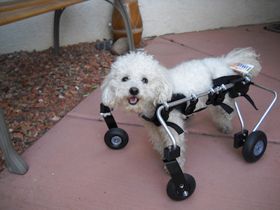 This Dog Was Severely Disabled And Needed Help Walking – No One Wanted Her. This Family Decided To Step In Big Time.