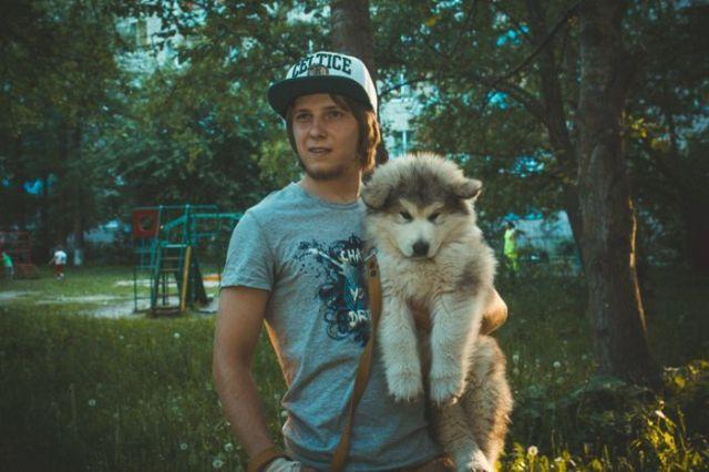 Cute Malamute Puppy Turns into a Giant Fury Beast (4 pics)