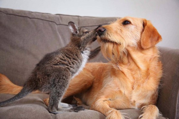 Unlikely Friendship: Dog Cares for Baby Wallaby
