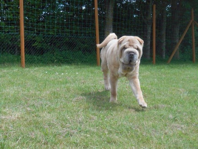 He Was Nearly Deaf And Blind…But Then This Shar Pei Got A Face-Lift