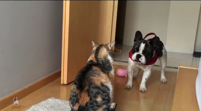 This Friendly Frenchie Really, Really Wants To Play….. With The Cat