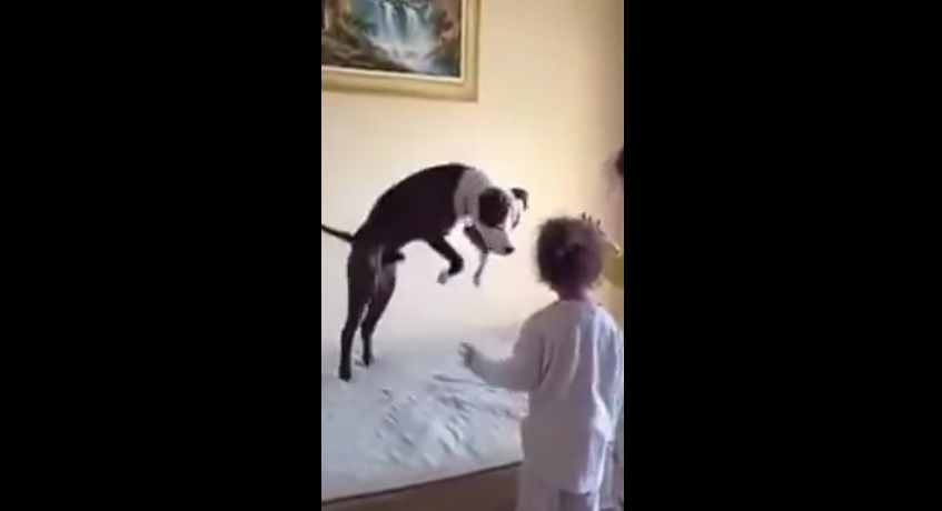 Dog Mimics Little Girls Jumping Up And Down On The Bed