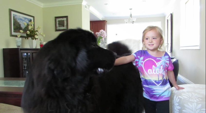 When This Little Girl Started Singing, Her Awesomely Fluffy Newfoundland Did Something Cute