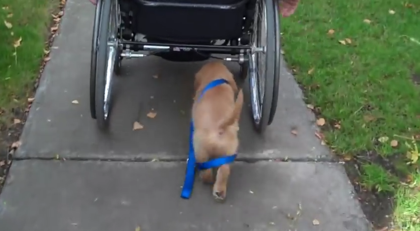 This Devoted Pup Walks Himself So His Owner In A Wheelchair Doesn't Have To