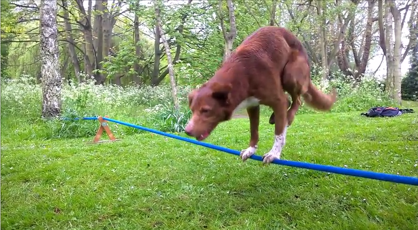 This Impressive Dog Has The Core Strength Of An Olympic Athlete