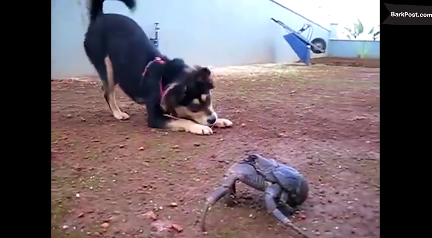 In The Hilarious War Between Dogs And Crabs, Everyone Is A Winner