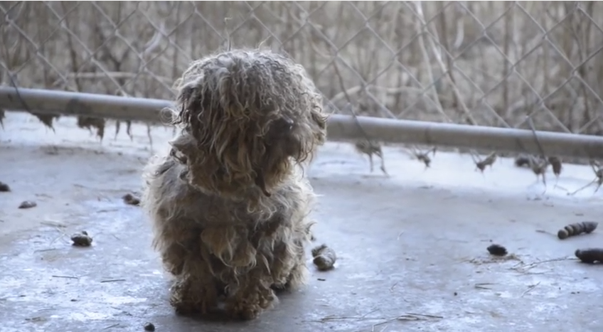 Dog Rescued From Puppy Mill Is Now Living A Beautiful Life! You Won't Believe It's the Same Dog!