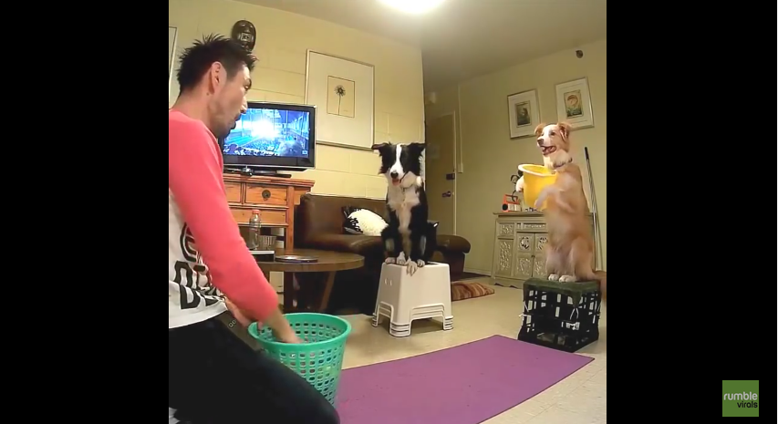 These Border Collies Can Play Catch With The Very Best Of Them