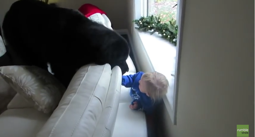 Giant Dog Playing Hide and Seek with a Kid Will Melt Your Heart. The Struggle was Real!