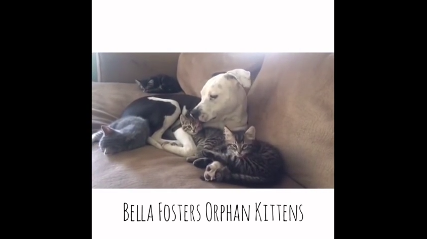 This Big Pit Bull And Her Orphaned Kitten Tykes Are The Cutest Family Ever