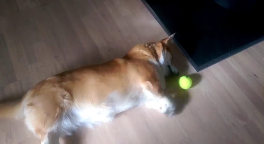 This Lazy Corgi Really Wants To Play With His Ball, But Can't Quiiite Reach It