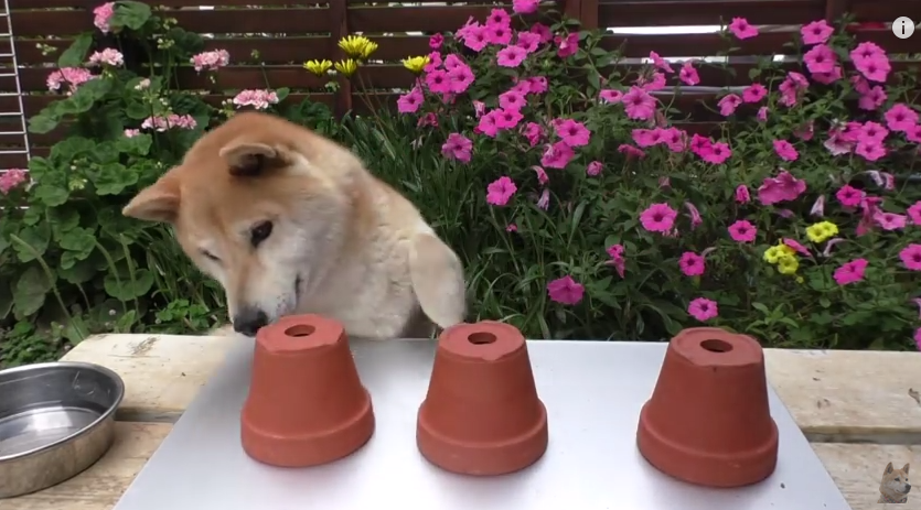 Can This Dog Guess Where The Treat Is Hidden? You Will Be Surprised!
