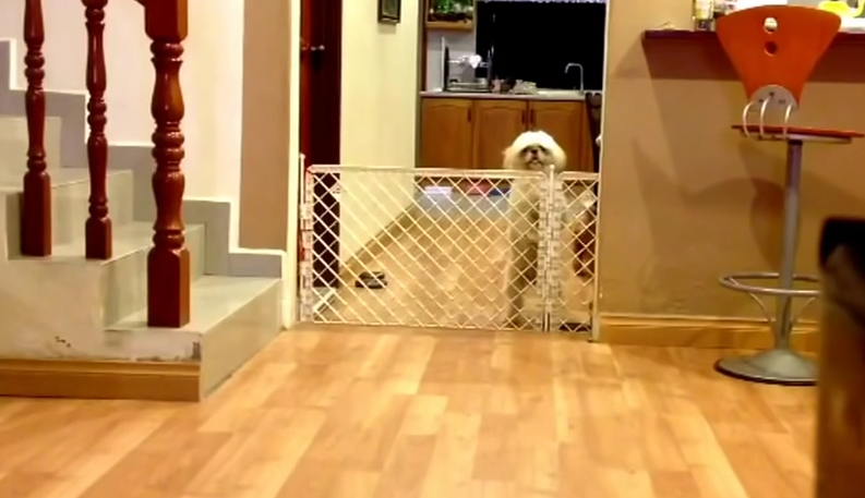 How This Shih Tzu Escapes This Gate Might Be The Most Creative Thing You've Seen. Ever.