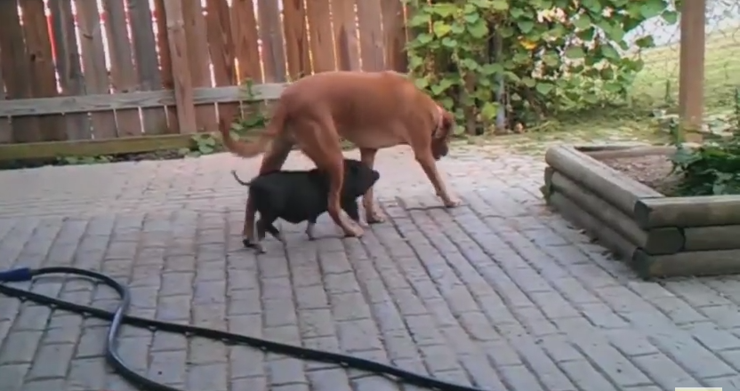 Baby Pig Adopts Mama Dog And Won't Leave Her Side