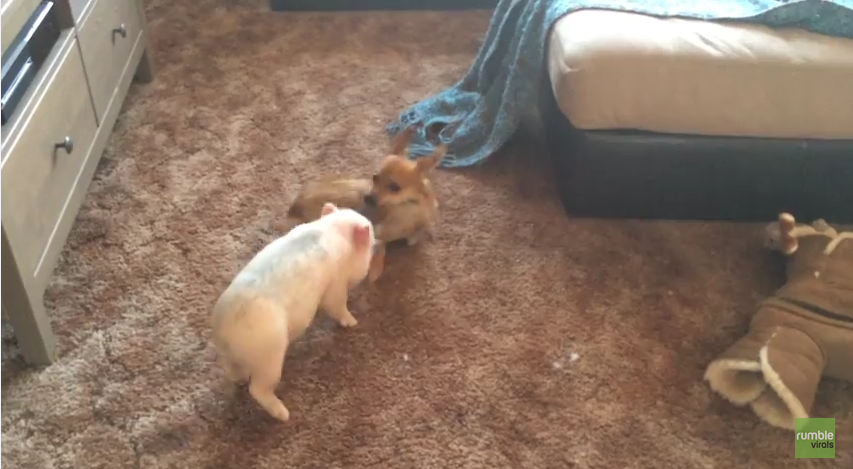 You Have To See This Little Piglet And Puppy Play Together Like Adorable BFFs