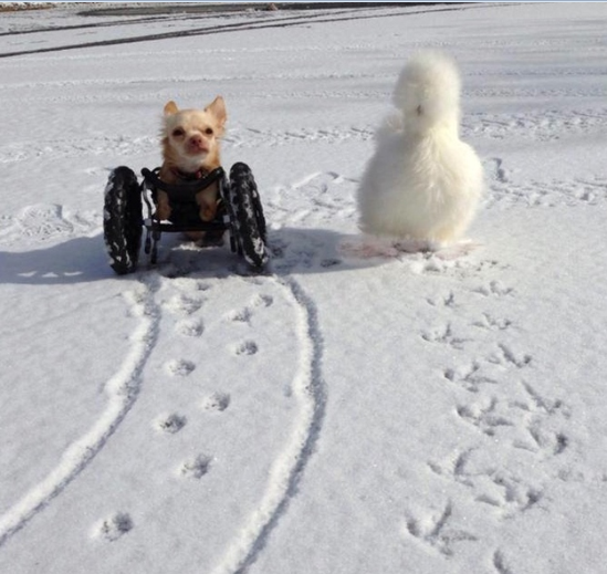 This Two-Legged Chihuahua And Fluffy Chicken Are The Best Of Friends And Do Everything Together