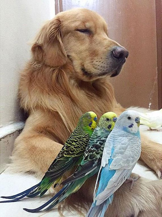Bob the golden retriever has the most unusual best friends eve
