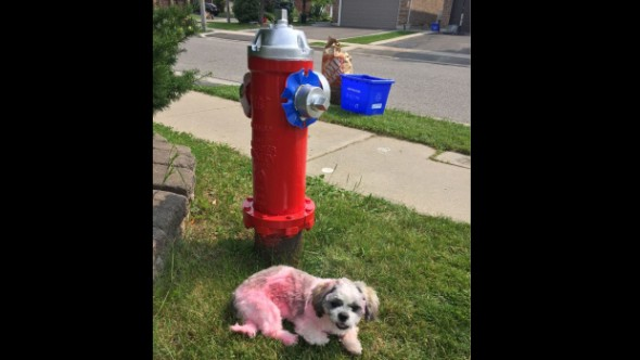Dog Tries to Mark Fire Hydrant but Gets Marked Instead