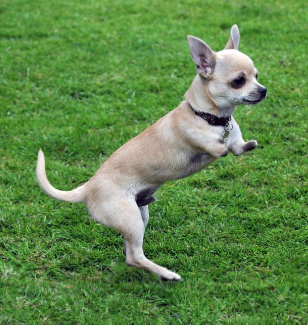 Tiny Chihuahua born with just his back legs is convinced he's a kangaroo