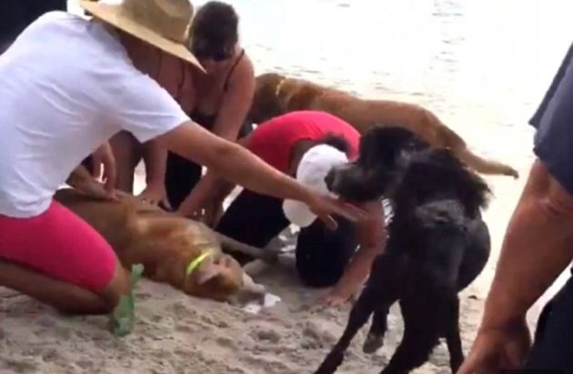 Good Samaritan gives Labrador dog the kiss of life on Tampa beach after it slipped under water