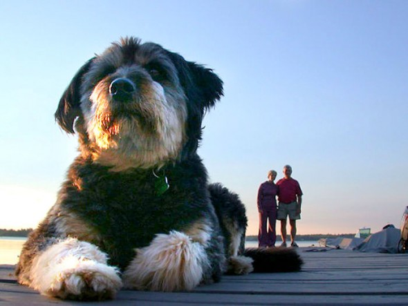 7.19.15-Dogs-That-Look-Huge1-590x443