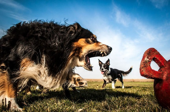 7.19.15-Dogs-That-Look-Huge13-590x391