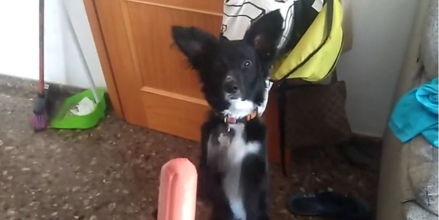 This Little Dog Has His Begging Strategy Down To An Adorable Science