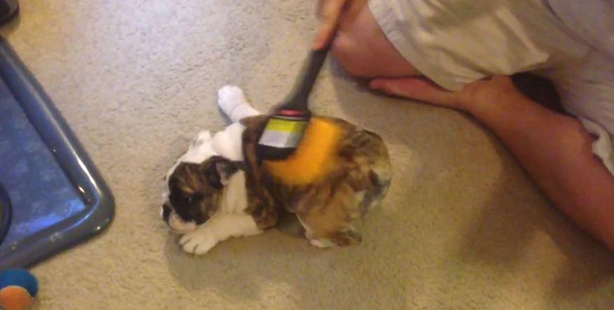 English Bulldog Puppy Loves Scrub Brush