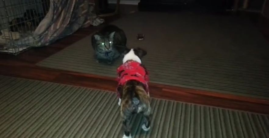 Adorable Puppy Challenges the Cat!