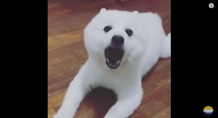 Pup Opens Mouth To Bark And Sounds Like…..A Duck