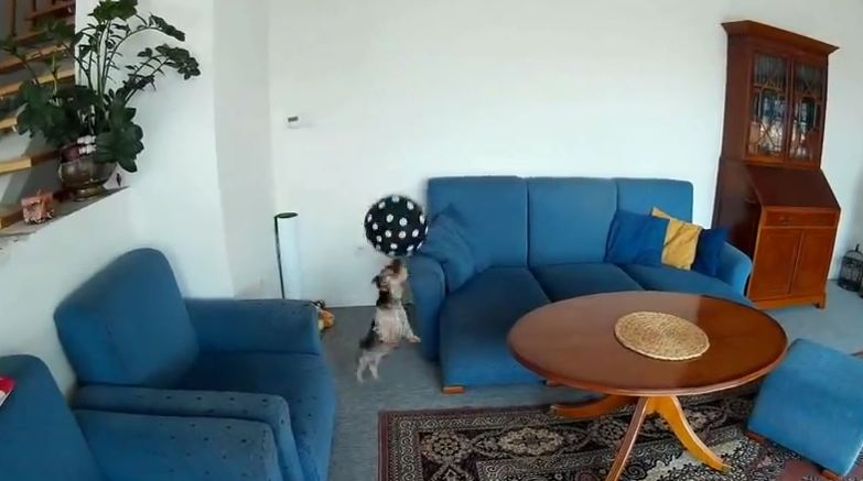 Dog Plays with Balloon