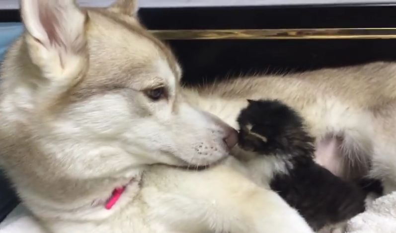 This Big Husky Nursed A Tiny Kitten Back To Health…And Then Adopted Her!