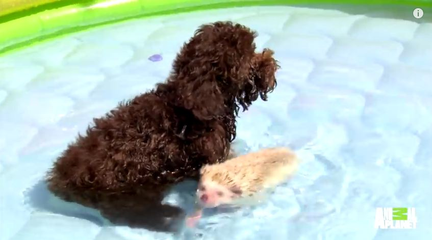 This Dog Won't Get Into The Pool Unless Her Little Friend Is With Her