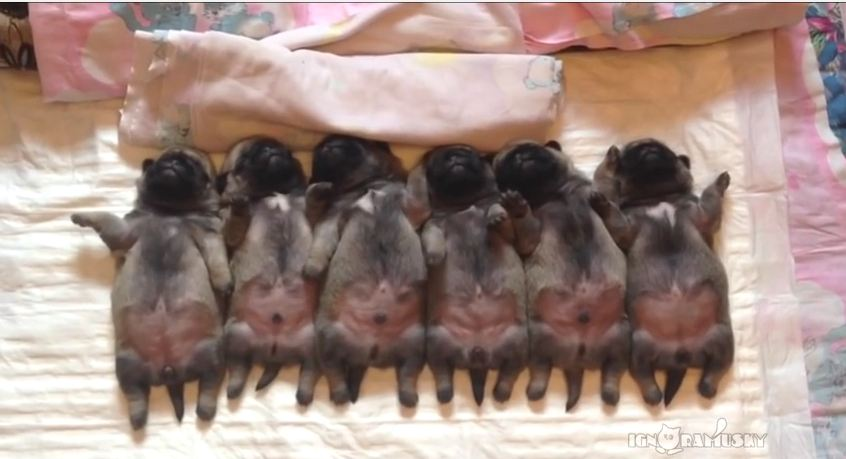 If Your Heart Doesn't Near Explode When Watching These Tiny Puppies Sleep…