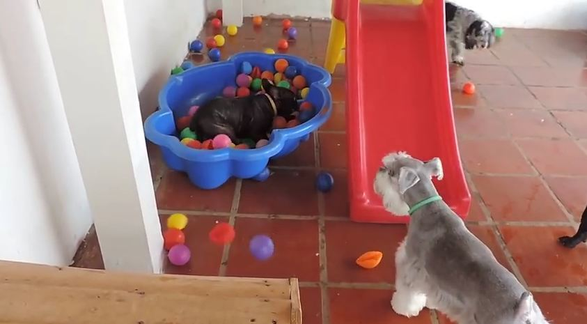 This Is What Happens When A Dog Sees A Ball Pit For The First Time