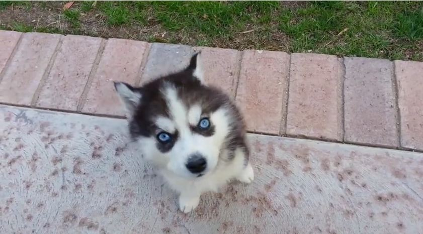 Watching This Husky Howl for the Very First Time Will Be The Best 7 Seconds Of Your Day (We Promise!)