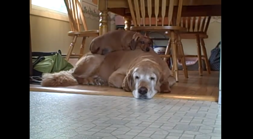 When This Old Golden Retriever Fell Asleep, Her Other Dog Did Something Sweet