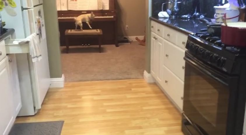 This Dog Will Entertain You With His Musical Trick As Long As You Pay Him With Treats!
